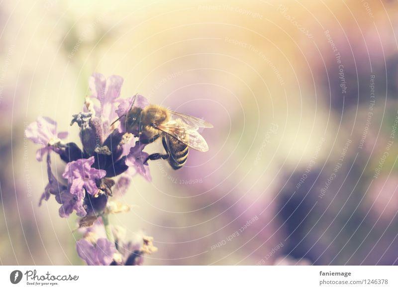 Lavendelhonig Natur Sommer Wärme Blüte Wiese natürlich Garten orange Feld Blühend süß Schönes Wetter violett zart Ernte Duft
