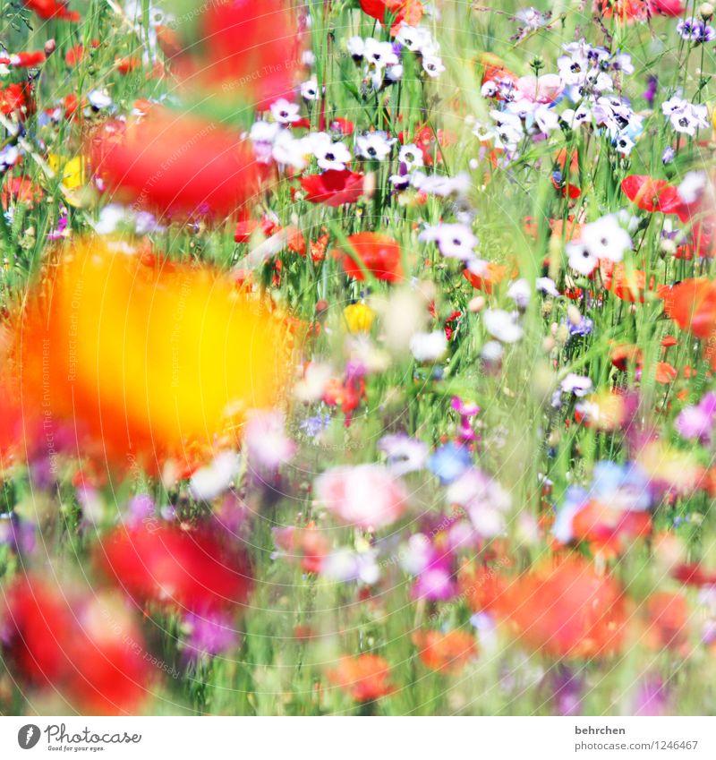 liese wiese Natur Pflanze Frühling Sommer Schönes Wetter Blume Gras Blatt Blüte Wildpflanze Mohn Garten Park Wiese Feld Blühend verblüht Wachstum schön