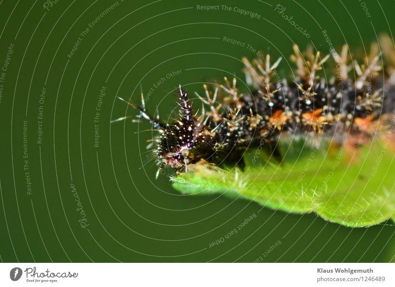 Ich werde mal Admiral werden Umwelt Natur Tier Sommer Pflanze Brennnessel Garten Park Wiese Wald Schmetterling Raupe 1 Fressen grün orange schwarz weiß Farbfoto