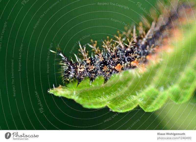 Ich werde auch mal Adrmiral Umwelt Natur Tier Sommer Pflanze Brennnessel Park Wiese Wald Schmetterling Raupe Admiral 1 Fressen grün orange schwarz weiß Farbfoto