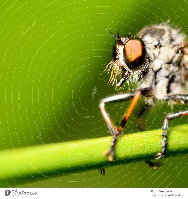 Fürchtet euch nicht. Umwelt Natur Tier Sommer Gras Grünpflanze Wiese Wald Fliege Tiergesicht Raubfliege Mordfliege 1 Blick sitzen Ekel braun grün weiß Farbfoto