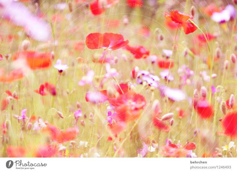die leichtigkeit des seins Umwelt Natur Pflanze Frühling Sommer Schönes Wetter Blume Gras Blatt Blüte Wildpflanze Mohn Garten Park Wiese Feld Blühend Wachstum