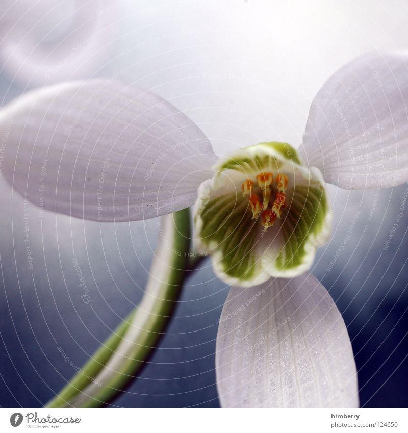 propellerhead Blume Makroaufnahme Blüte Pflanze Detailaufnahme weiß Blütenknospen Blütenblatt Botanik Natur Sommer Frühling frisch Wachstum Farbe ästhetisch