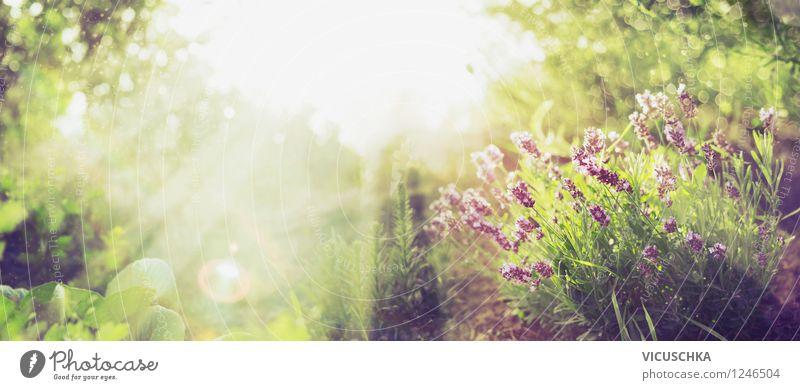 Sonniger Garten mit Lavendel Natur Pflanze Sommer Sonne Baum Blume Blatt gelb Blüte Herbst Frühling Gras Stil Hintergrundbild Garten Park