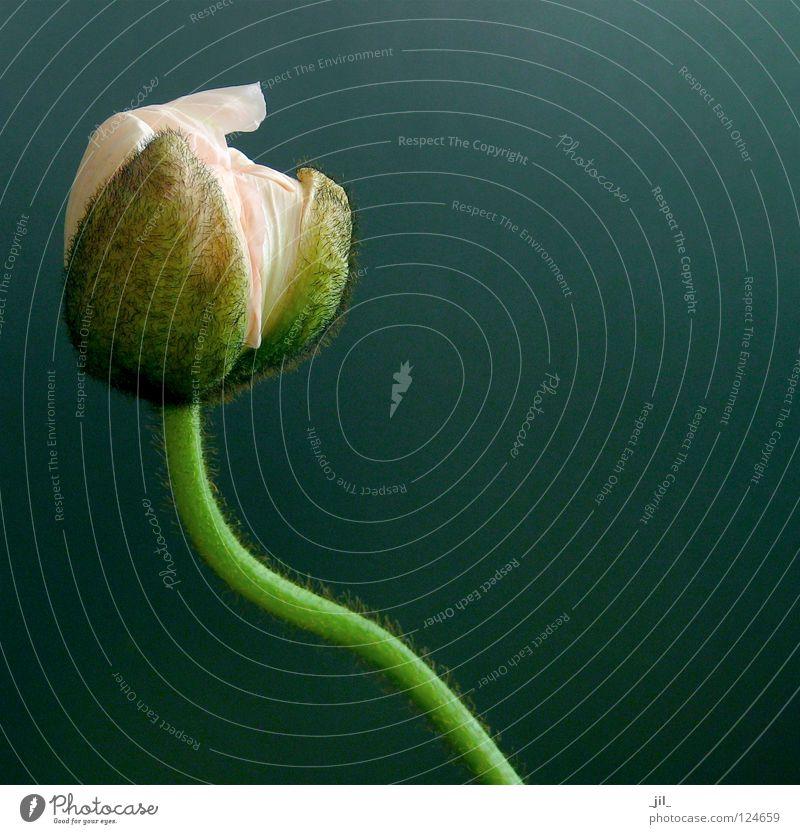 mohn - entfalten anfang schön Blume grün Pflanze grau rosa Mohn türkis Mohnblüte khakigrün
