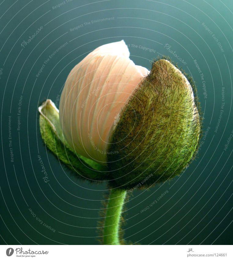 mohn - entfalten kugel Mohn Mohnblüte Blume Pflanze aufmachen rund rosa grün khakigrün grau türkis schön Kugel
