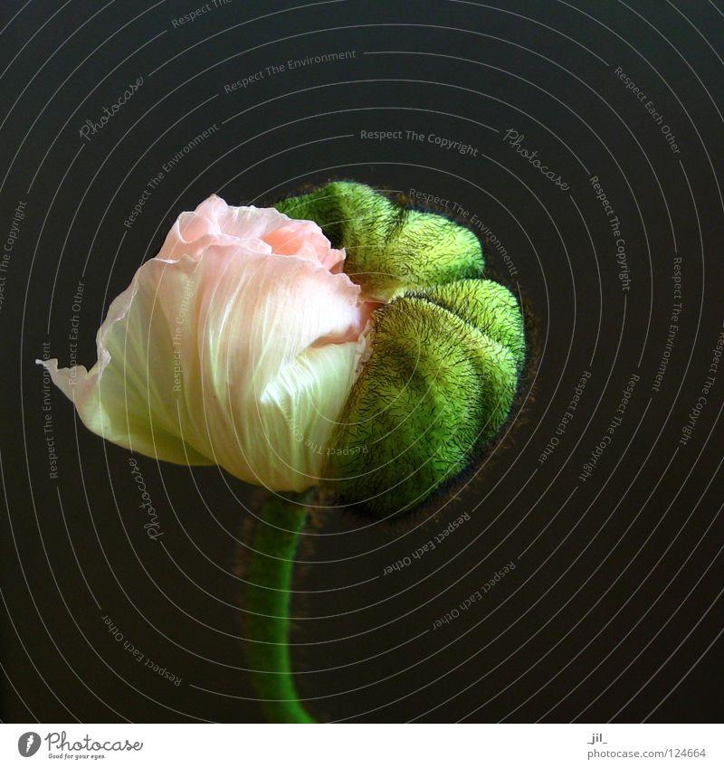 mohn - entfalten: zwischen zwei welten schön Blume grün Pflanze schwarz gelb grau rosa rund Kugel Mohn aufmachen Übergang Mohnblüte khakigrün
