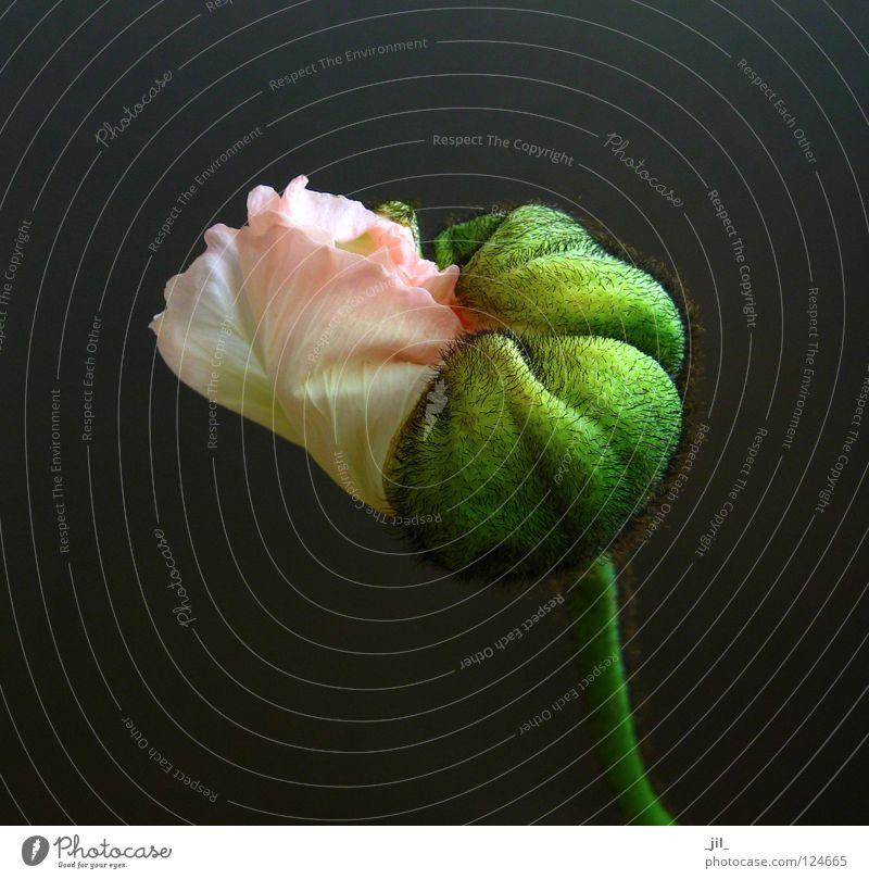 mohn - entfalten: übergang Mohn Mohnblüte Blume Pflanze aufmachen rosa gelb grün khakigrün grau schwarz schön Übergang