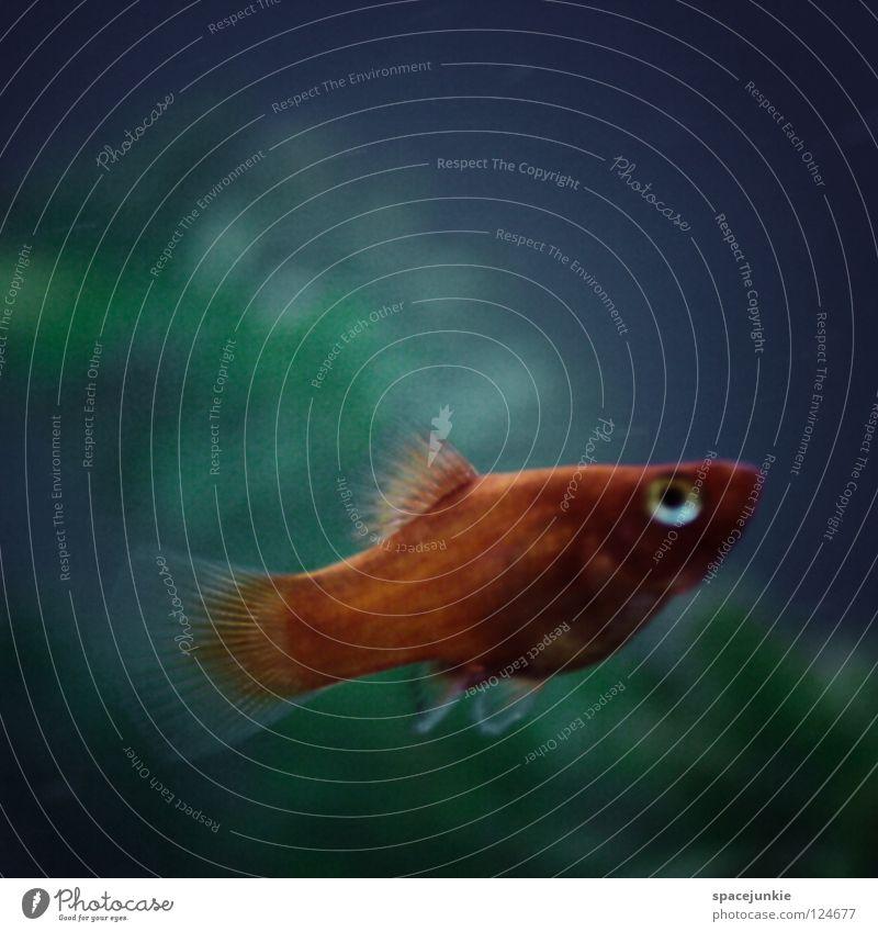 Fish Aquarium tauchen Unschärfe Bewegungsunschärfe dunkel nass Tier Fischauge Kieme Meer See Freude fish Wasser Water Jagd Makroaufnahme Schwimmhilfe orange