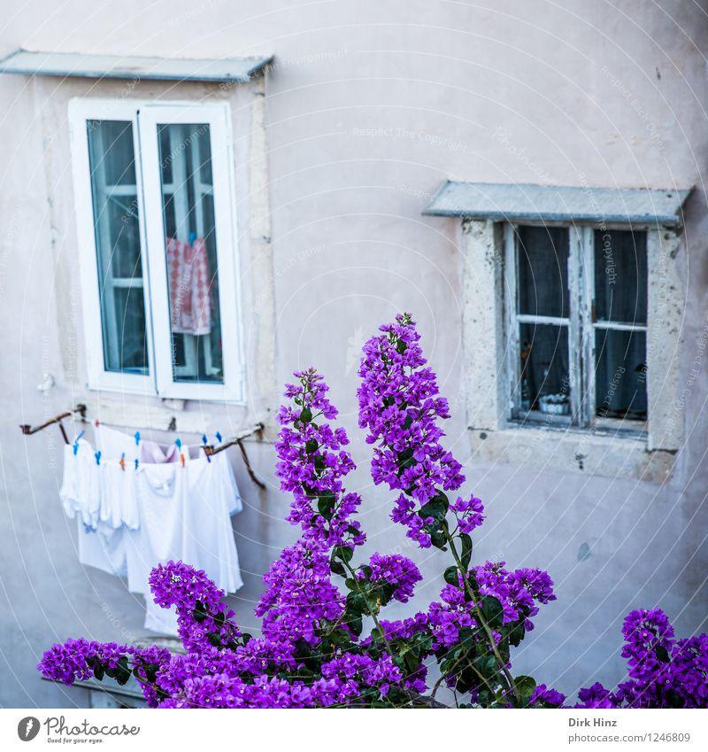 Blüten vor dem Fenster alt Wand Leben Frühling Mauer grau Garten rosa Fassade Tourismus Blühend historisch violett Tradition Wahrzeichen
