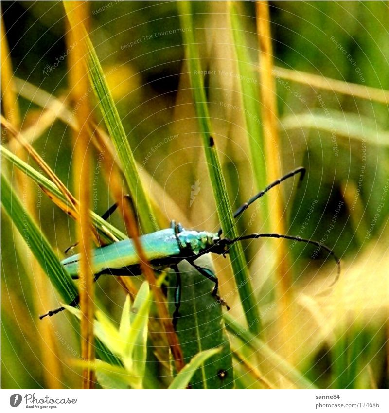 Käfer Natur grün Sommer Wiese Gras Insekt türkis Halm Fühler krabbeln Polen Bergwiese Moschusbock