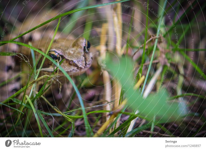 Küss mich , vielleicht werde ich ein Prinz !! Natur Pflanze Tier Park Wiese See Bach Frosch Tiergesicht 1 beobachten Bewegung springen Froschkönig Froschlurche