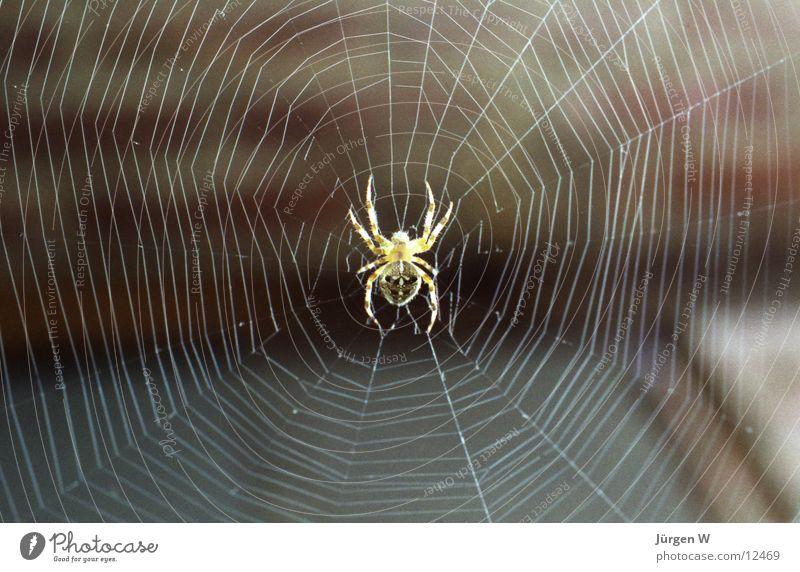 Spiderman Spinne beobachten Insekt Nahaufnahme Licht Netz Makroaufnahme Detailaufnahme spider insect net lie in wait for light