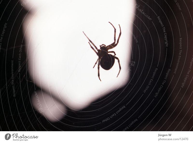 Lauerstellung Spinne Insekt beobachten Licht Nahaufnahme Schatten Netz Makroaufnahme spider shadow insect net lie in wait for light