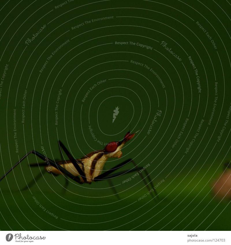 neriid fly weiß dunkel Beine Fliege Flügel Asien dünn Insekt Urwald Singapore