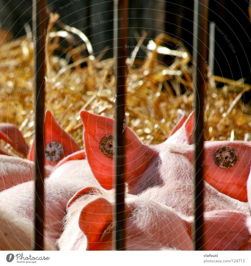 Piercing Convention Farbfoto Außenaufnahme Textfreiraum oben Schwache Tiefenschärfe Rückansicht Sonnenbad Ohr Schönes Wetter Bauernhof Stall Freigehege Schwein