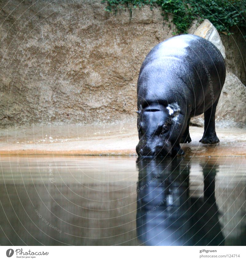hippopotamus amphibius Wasser Tier trinken Afrika Säugetier Flußpferd Paarhufer