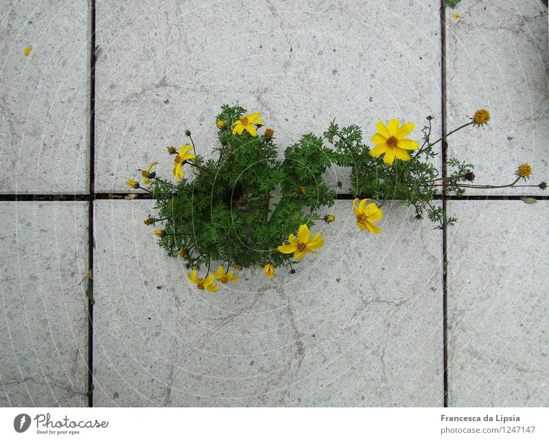 Balkongestaltung Natur Stadt Pflanze grün Sommer weiß Blume Umwelt gelb Leben Blüte natürlich klein Garten Stein Wachstum