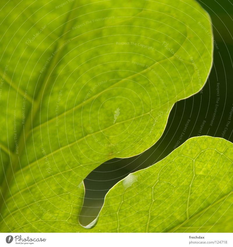 Photosynthese I grün Pflanze Blatt schwarz Leben rund Quadrat Botanik Biologie Gefäße Prozess verwandeln organisch Botanischer Garten