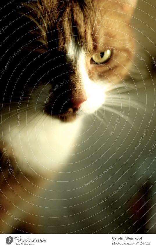 Paul. Katze weiß Auge Haare & Frisuren leuchten Ohr Fell böse Säugetier Hauskatze Schnauze bewegungslos Oberlippenbart