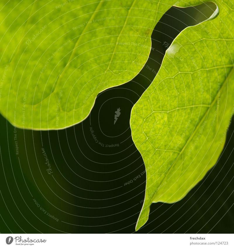 Photosynthese II grün Pflanze Blatt schwarz Leben rund Quadrat Botanik Biologie Gefäße Prozess verwandeln organisch Botanischer Garten