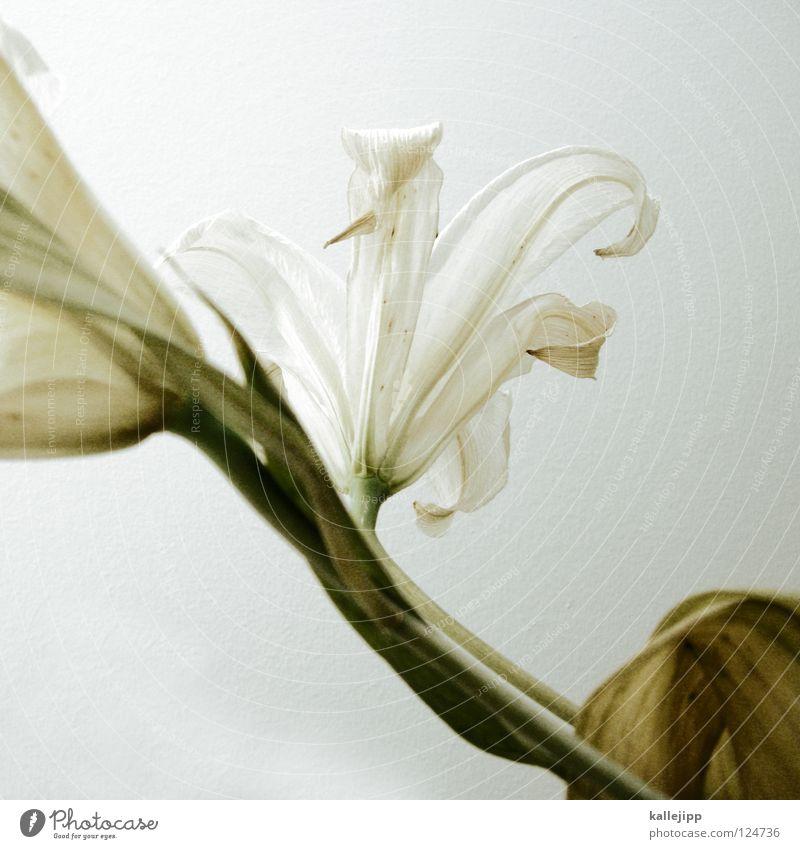 gattung weiß schön Pflanze Blume Tod Wachstum Macht Lebewesen Stengel schäbig Duft Geruch vertikal Stempel Lilien verschönern