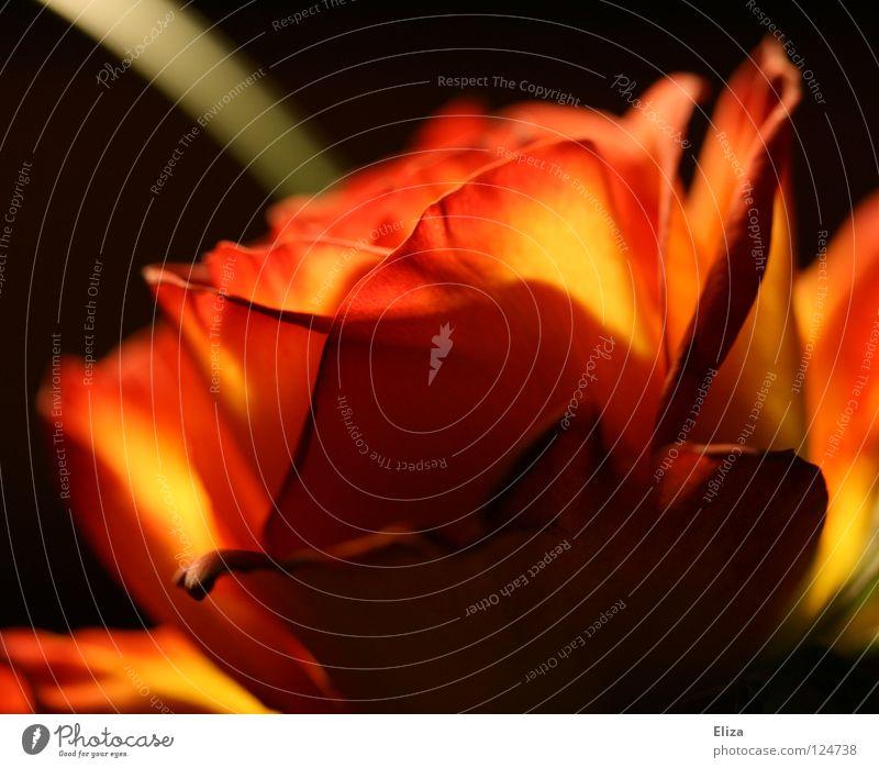 Rose Natur schön Blume Pflanze rot schwarz Lampe dunkel orange Brand Rose Flamme Valentinstag feurig