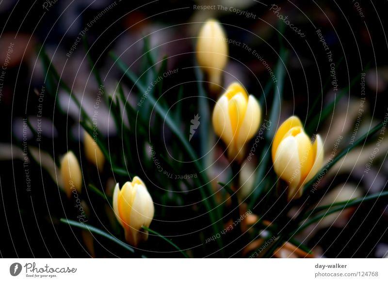 Frühlingserwachen Blume Krokusse Blüte Beet Pflanze gelb grün aufwachen Tiefenschärfe Natur Blütenknospen Kontrast