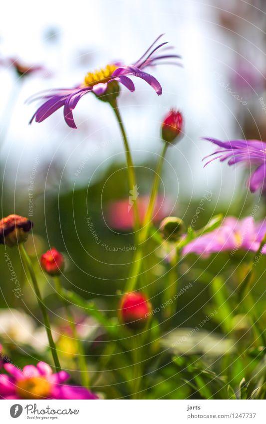 sonntagsgruß Natur Pflanze schön Sommer Blume ruhig Blüte natürlich Garten Park Zufriedenheit frisch elegant Fröhlichkeit Schönes Wetter Gelassenheit