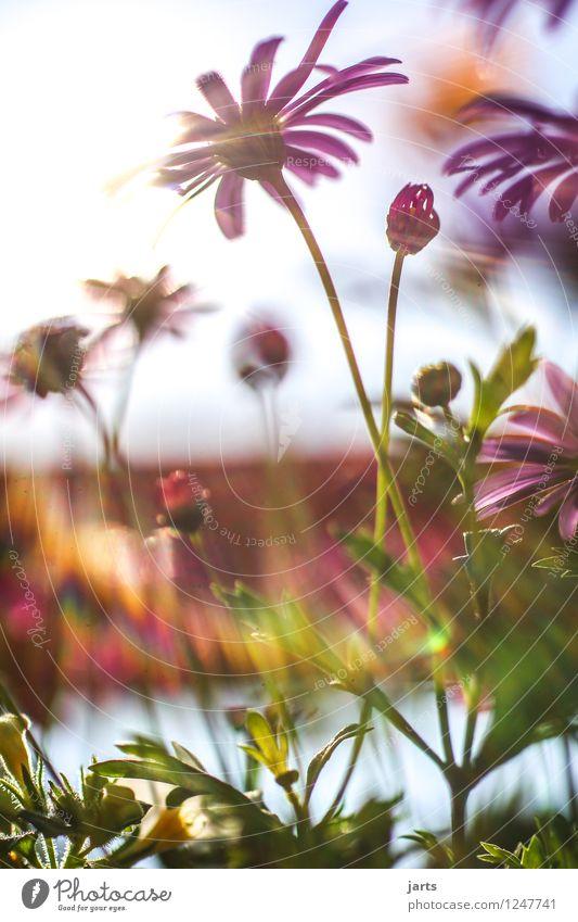 sommer sonne sonnenschein Natur Pflanze Sommer Schönes Wetter Blume Blüte Garten Duft exotisch frisch hell natürlich Wärme Frühlingsgefühle Farbfoto mehrfarbig