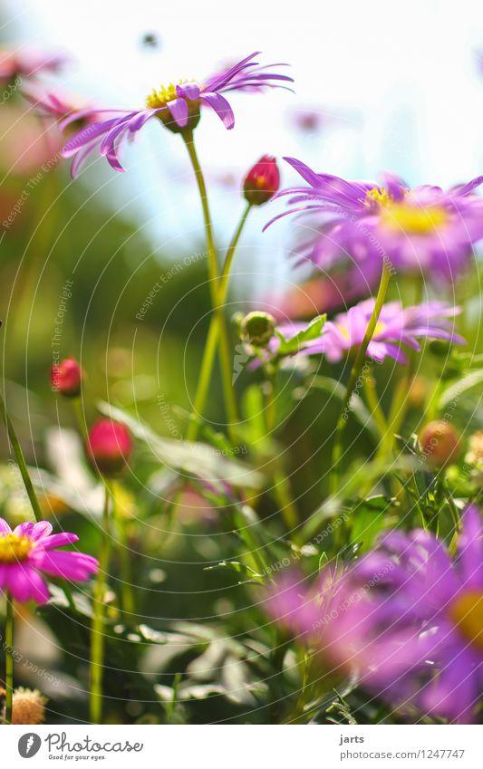 sommerblumen Natur Pflanze Sommer Schönes Wetter Blume Blüte Garten Park Duft frisch schön natürlich Frühlingsgefühle Farbfoto mehrfarbig Außenaufnahme