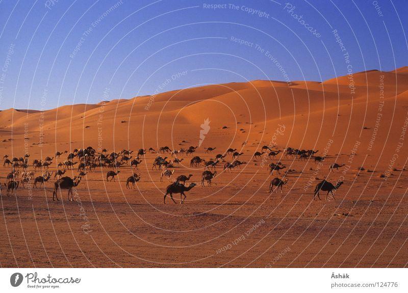 Kamelherde Sand Schönes Wetter Wüste Afrika Stranddüne Abenddämmerung Sahara Libyen