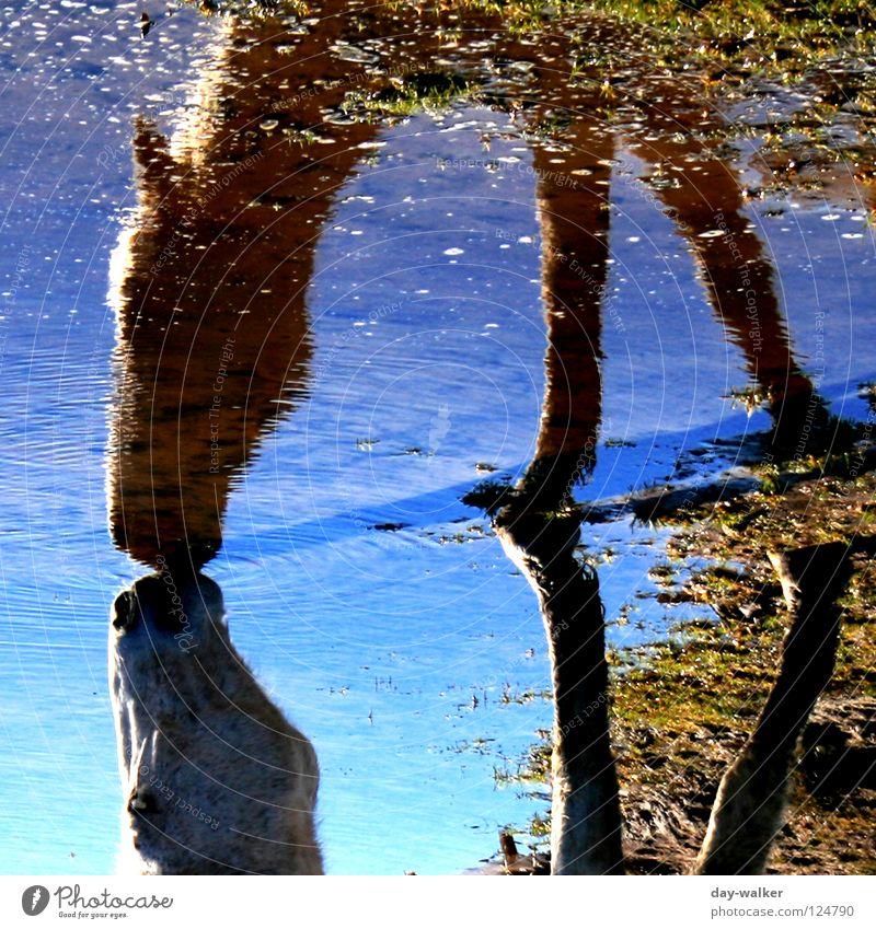 (Blau)schimmel Pferd Tier See Reflexion & Spiegelung Spiegelbild trinken Fressen Silhouette Pferdekopf Huf Wiese Randzone azurblau Säugetier Wasser Sprechgesang