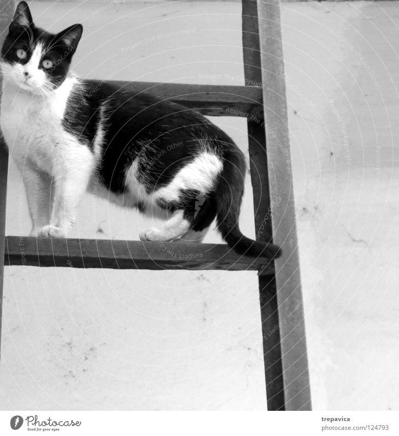 katze Katze süß schwarz weiß Tier Fell aufsteigen Pause Hauskatze animal cat Fleck Angst Leiter Klettern warten