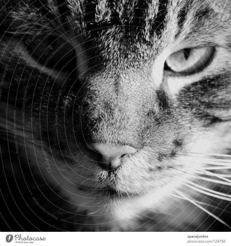 She's a cat Katze Hauskatze Tier Haustier Schnurrhaar Tierporträt Blick Aussehen Fell Streifen Säugetier Schwarzweißfoto Katzenauge beobachten animal