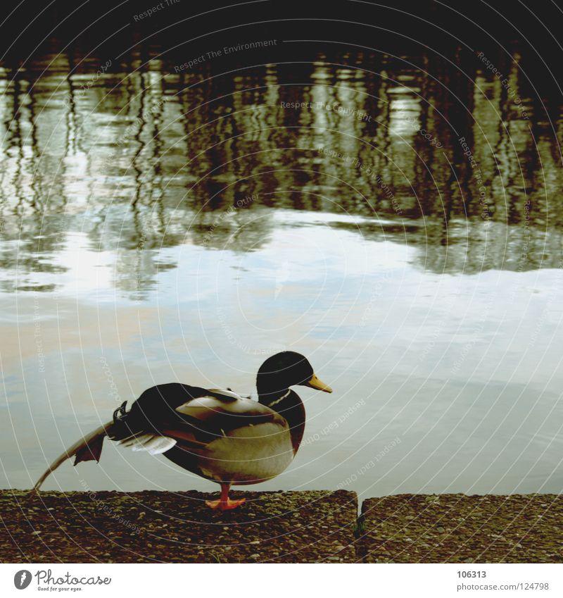 DIE UNGELIEBTEN KINDER DES PHOTOCASE.DE schön Zufriedenheit Erholung Wasser Flussufer Wildtier Vogel Flügel 1 Tier stehen Neid Verachtung sündigen Erpel
