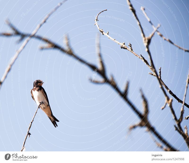 Hochsitz Himmel Wolkenloser Himmel Ast laublos Tier Wildtier Vogel Schwalben Rauchschwalbe 1 beobachten Erholung genießen hocken sitzen hoch klein natürlich