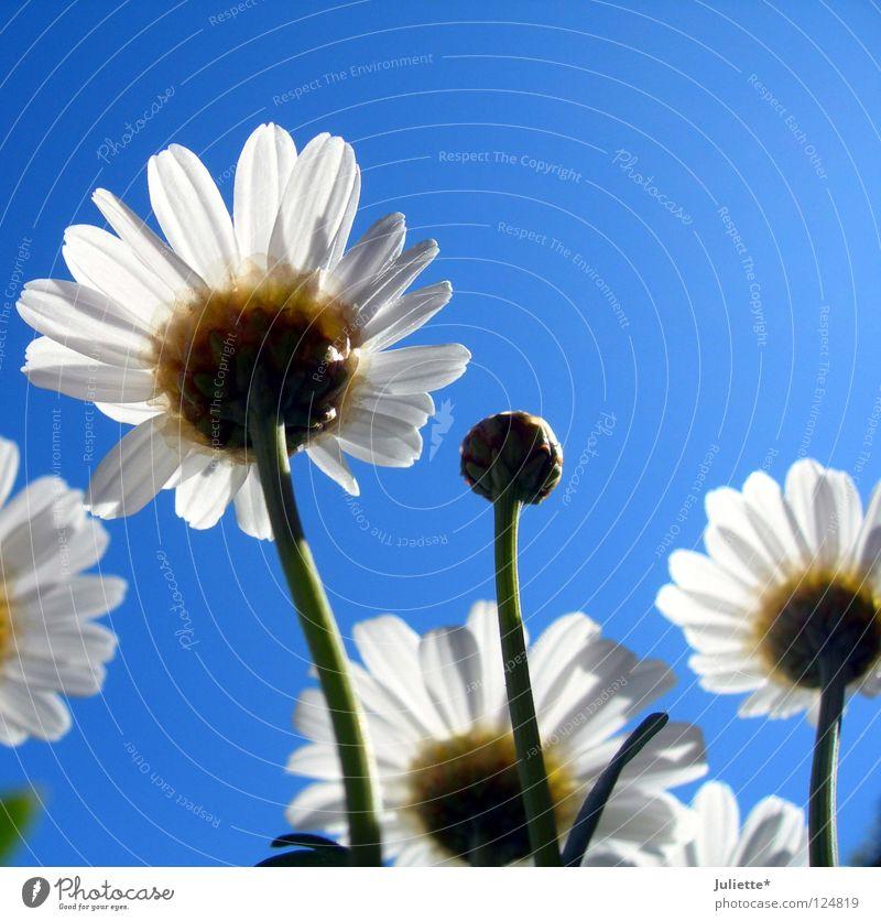 Bald blüht´s! II Blume weiß Sommer Blüte grün Magaritte blau Himmel schön Blütenknospen Ernte Margerite