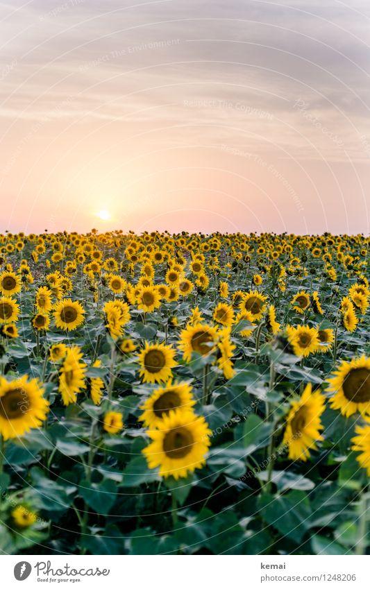 Blumenmeer Ferne Freiheit Umwelt Natur Pflanze Himmel Wolken Sonne Sonnenlicht Sommer Schönes Wetter Wärme Nutzpflanze Sonnenblume Sonnenblumenfeld Feld