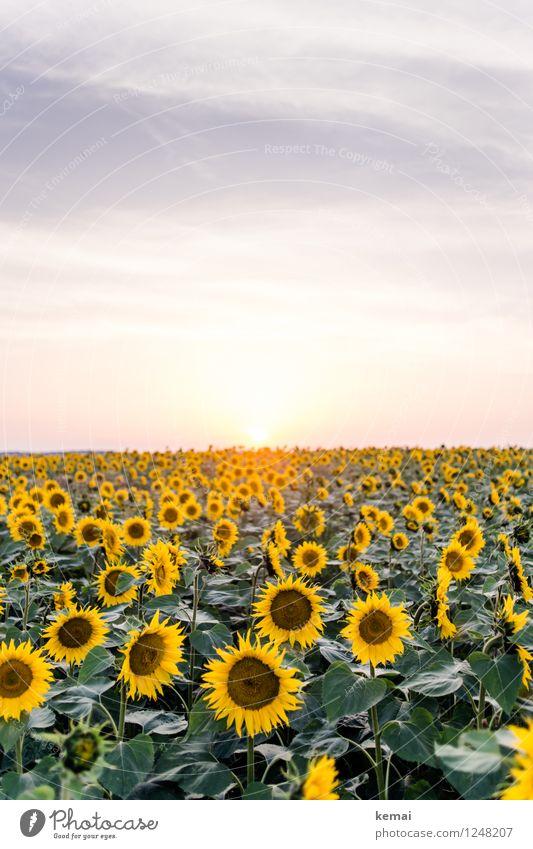 Sundown im Sonnenblumenfeld Umwelt Natur Landschaft Pflanze Himmel Wolken Sonnenaufgang Sonnenuntergang Sonnenlicht Sommer Schönes Wetter Wärme Blume Blatt