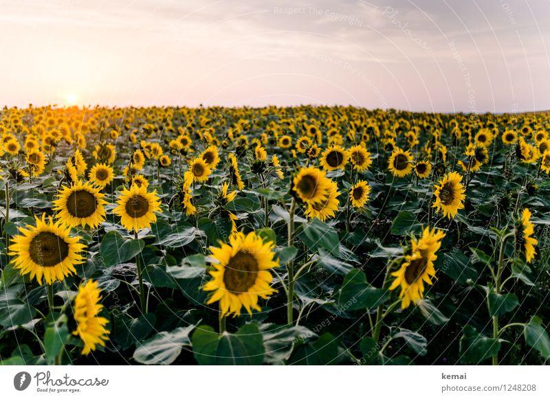 We are family Umwelt Natur Landschaft Pflanze Himmel Wolken Sonne Sonnenaufgang Sonnenuntergang Sonnenlicht Sommer Schönes Wetter Blume Nutzpflanze Sonnenblume