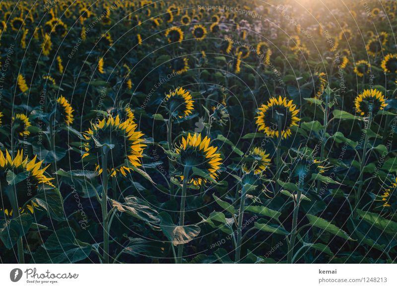 Battle for the sun Umwelt Natur Pflanze Sonne Sonnenaufgang Sonnenuntergang Sonnenlicht Sommer Schönes Wetter Wärme Blatt Blüte Nutzpflanze Sonnenblume