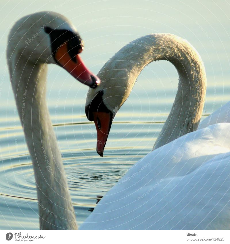 Schwanenherz Wasser schön Liebe Glück See Freundschaft Wellen Vogel Zusammensein Herz Tierpaar Schwimmen & Baden ästhetisch paarweise Flügel Romantik