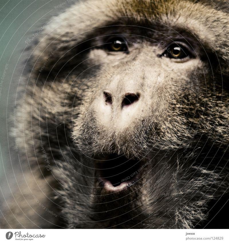Überraschung … Tier Auge Haare & Frisuren Mund Angst Fell Überraschung Säugetier Panik Affen erstaunt Schrecken staunen hilflos o erschrecken