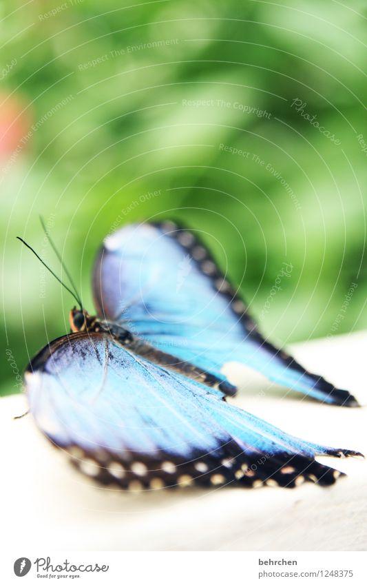 blau machen Natur Pflanze Tier Frühling Sommer Garten Park Wiese Wildtier Schmetterling Flügel blauer morphofalter 1 beobachten Erholung außergewöhnlich elegant