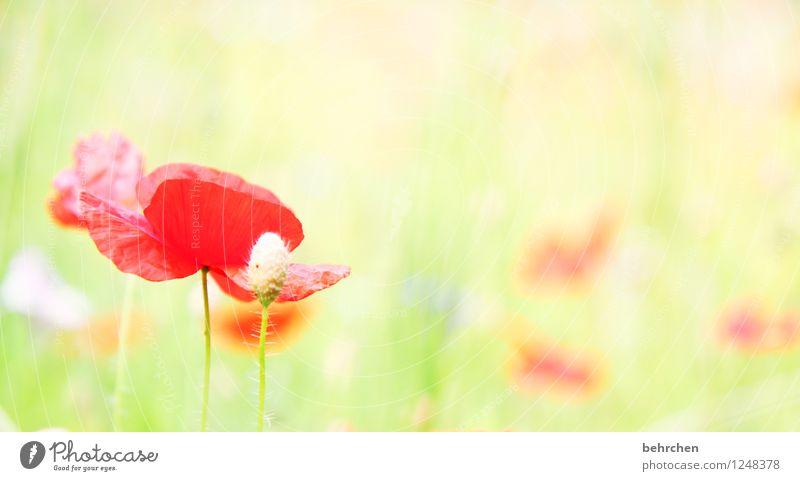 montag bleibt mo(h)ntag Natur Pflanze Frühling Sommer Schönes Wetter Blume Gras Blatt Blüte Wildpflanze Mohn Garten Park Wiese Feld Blühend verblüht Wachstum