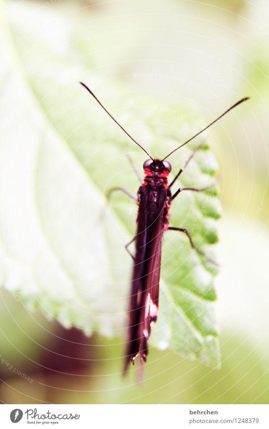 draufsicht Natur Pflanze Tier Frühling Sommer Blatt Garten Park Wiese Wildtier Schmetterling Flügel 1 Erholung schlafen sitzen exotisch schön grün rot Fühler