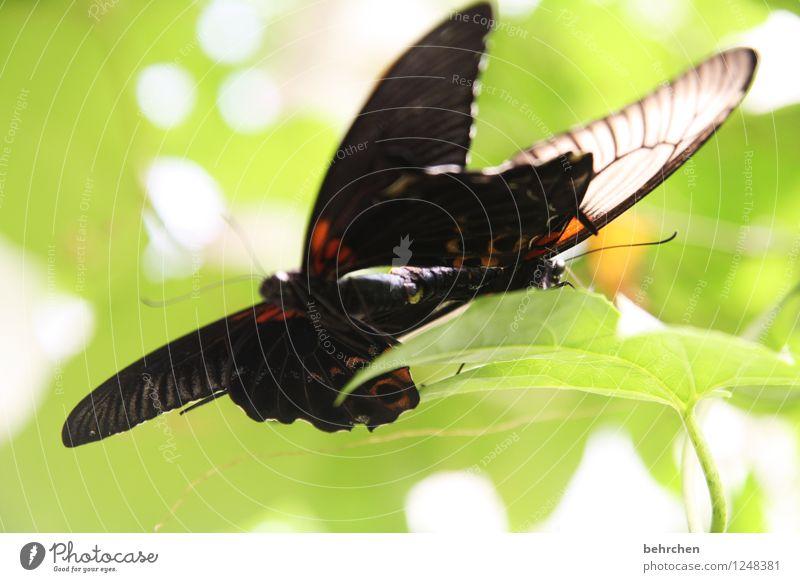 liebe Tier Schmetterling Flügel 2 wählen beobachten berühren Erholung fliegen Liebe Sex außergewöhnlich exotisch fantastisch Glück schön natürlich wild grün