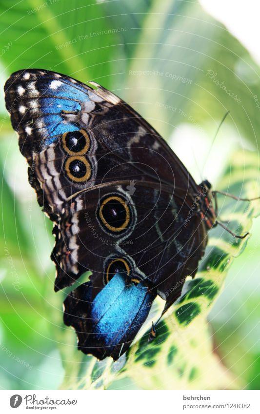 wunderschöne unperfektheit Blatt Schmetterling Flügel blauer morphofalter fliegen sitzen warten ästhetisch natürlich grün Wunde Fühler Erholung Muster