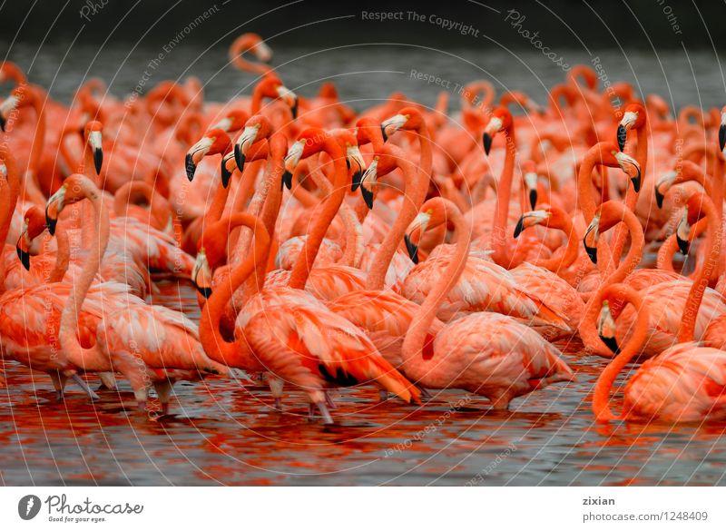 größere Flamingos Tier Wildtier Vogel Tiergruppe Herde Wasser entdecken tauchen natürlich mehrfarbig rosa rot schwarz schön Wissen Farbfoto Morgen